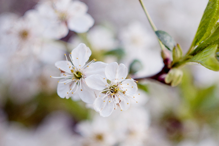 tiefe: The flowering tree. Close-up of flowers on the branches, spring background. Shallow depth of field. A soft picture