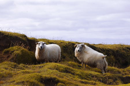 Sheep on the road. The wild nature of Iceland