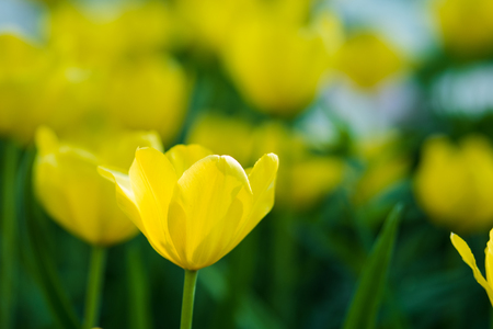 Tulips. Flower bed or garden with different varieties of tulips. Beautiful flowers close-up Stock Photo