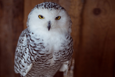 Beautiful snow-white owl. Seriously looking into the frame Banque d'images