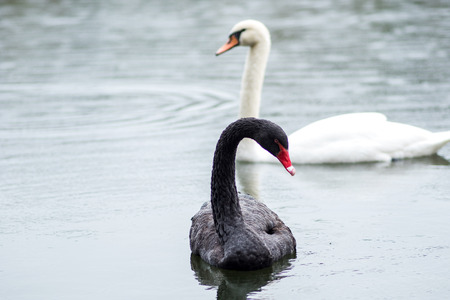 Black swan. Two black swans swim in the lake. Stock Photo