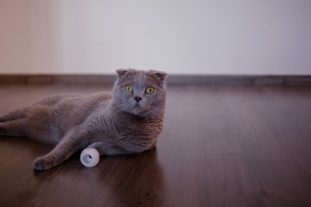 Very surprised grey cat, funny pet face. Funny cat in the interior Фото со стока