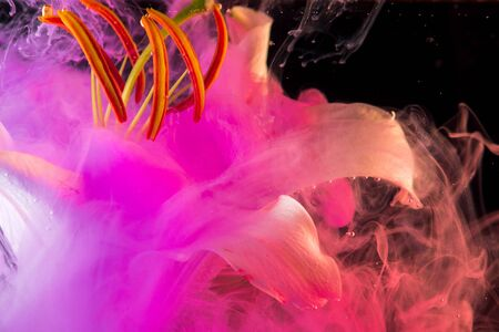 White Lily under water, of pink colour surrounds the flower. Abstract creative photo, pink color swirling in the water. Bright colored ink and white Lily flower, creative on black background