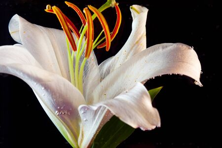 White Lily under water. Lily flower on a black background immersed in water