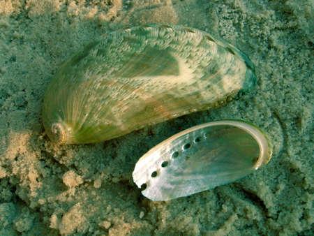 Haliotis asinina (Linnaeus, 1758), family Haliotidae. Shells on the sand. Also known, as Asss Ear Abalone, Donkeys Ear Abalone and Green Abalone. photo