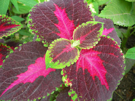 Coleus sp. Family Lamiaceae, Order Lamiales, Class Magnoliopsida, Division Magnoliophyta, Kingdom Plantae. Coleus (Solenostemon) is a genus of perennial plants, native to tropical Africa and Asia. The name Coleus derives from an earlier classification und Stock Photo - 524485