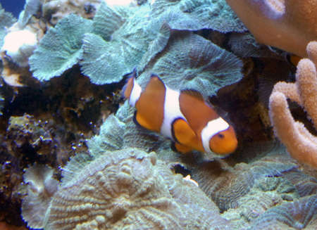 inhabits: Amphiprion ocellaris (Lacepede, 1802) inhabits coral reefs and sheltered lagoons in association with the sea anemone Heteractis magnifica, using them for shelter and protection. Kingdom Animalia, Phylum Chordata, Class Actinopterygii, Order Perciformes, F Stock Photo