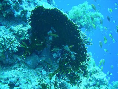 basslet: fairy basslets joya (Pseudanthias squamipinnis) y justo coral (Millepora dichotoma)  Foto de archivo