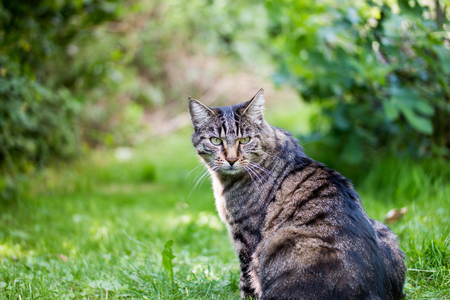 looking towards camera: A grumpy cat in the green looking towards the camera Stock Photo