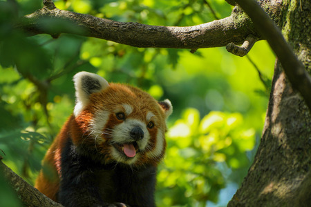 panting: A panting red panda Stock Photo