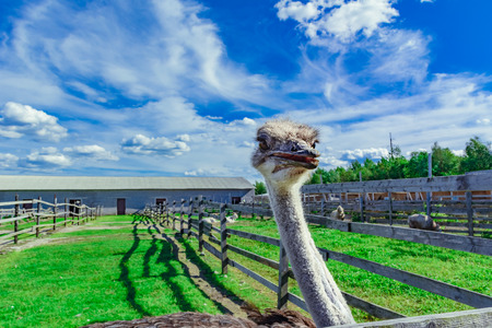 Ostrich in a farm with green grass and blue sky looking through fence