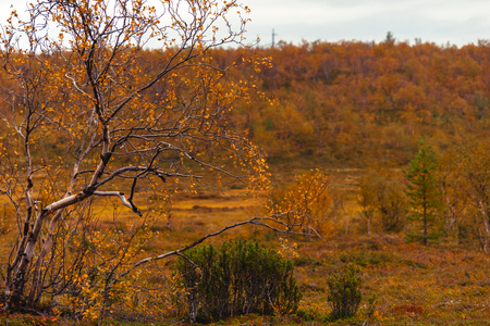 Birch and bush of a juniper in the pale red autumn forest Stock Photo