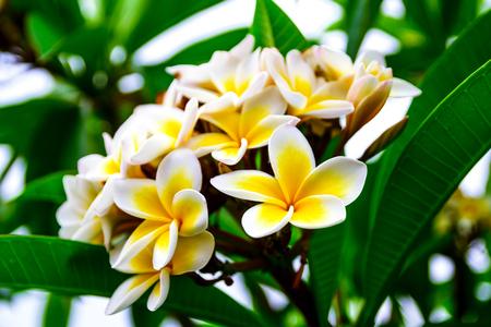 Photo de branche de fleurs jaunes blanches plumeria