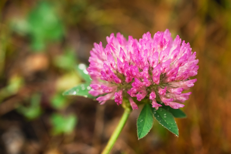 Macro photo of a pink clover with dewdrops on brown background