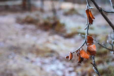Branche with dry pale orange birch leaves in hoarfrost late fall