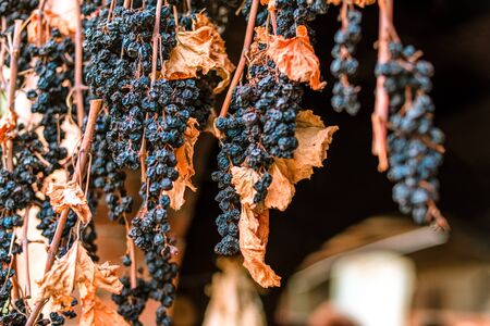 Red grapes drying bunch with dry leaves Stock Photo