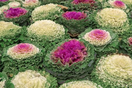 Bright beautiful fall decorating with flowering green and violet cabbage in the garden