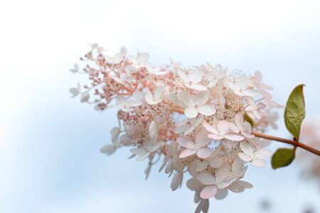 White and pink lilac flowers closeup on sky background. Syringa vulgaris
