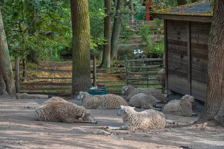 Sheep behind a wooden fence in the yard. Sheep on the farm. Banque d'images