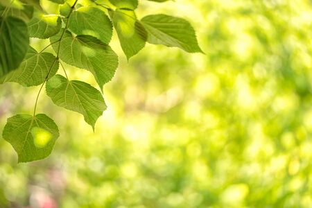 Green background from leaves of tree in the sunny summer day 版權商用圖片