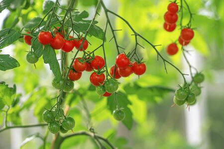 Red round ripe Cherry tomatoes in a small farm garden