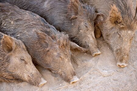 Four sleeping in the sand wild boar in the park or farm Banco de Imagens