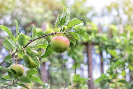 Green fresh apple with on branch of an apple in a garden