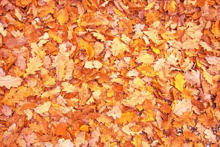 Autumn bright red leaves background surface laying under feet in deep autumn falling