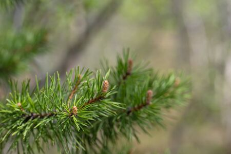 Closeup of green pine needles with a shallow depth of field