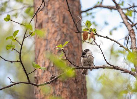Grey bird sitting on a spring birch branch