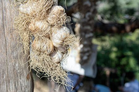 Big bunch of garlic on wooden pole in the garden on the farm