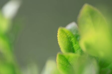 Macro wild blueberries growing in nature with green leaves, macro background Stockfoto