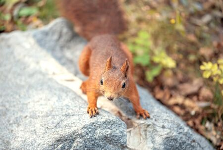 Squirrel sitting on the ground of leaves in forest or public park. Sciurus vulgaris. Stockfoto