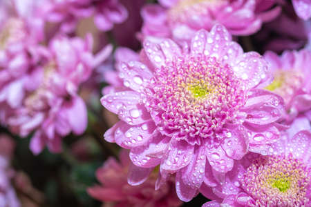 Close up macro of pink chrisantemum bouquet background with waterdrops