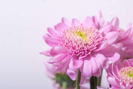 Bright pink chrisantemum flower in a bouquet on white background