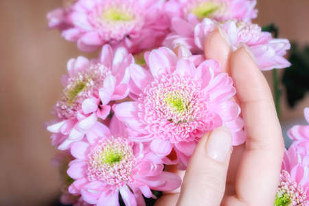 Woman hand hold bright several pink chrisantemum flowers Stockfoto