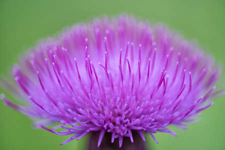 Macro of a milk thistle flower head at a green background Stockfoto