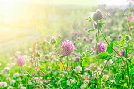 Pink clovers on a bright green and sunbeam flare background