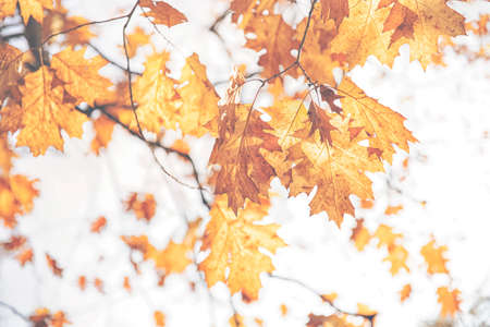 Red background from old brown or pale orange leaves of oak tree in the sunny autumn day
