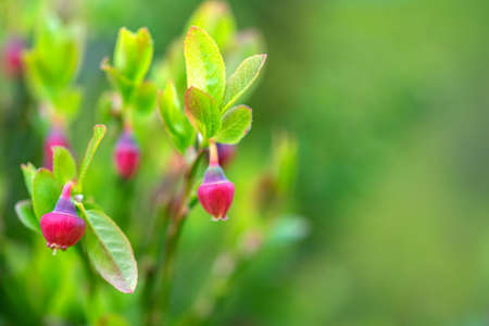 Blackberry bush with pale pink flowers closeup on lingonberry leaves background