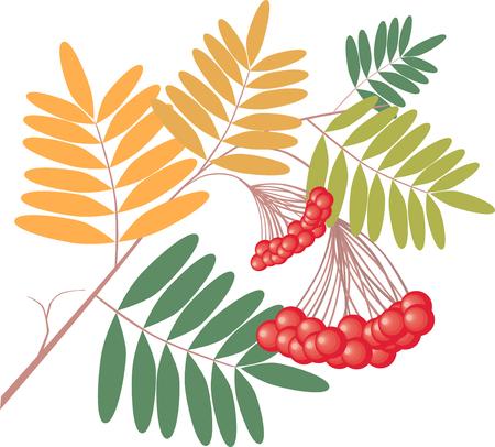 熟した果実のナナカマドの木の枝のベクター画像。