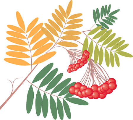 The vector image of a branch of ashberry tree with ripe berries. Illustration