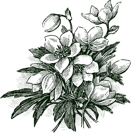 budding: Vector drawing of the bouquet of snowdrops