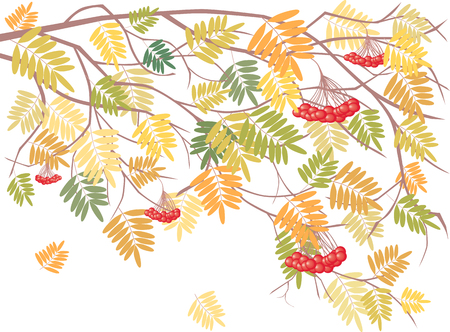 Vector image of the rowan branch in the autumn.