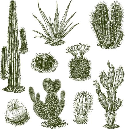 別の砂漠のサボテンのベクトル図面。