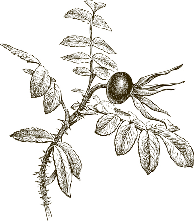 stamen: Vector drawing of a branch of a dogrose.