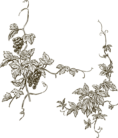 Vector drawing of two decorative branches of a grapevine.