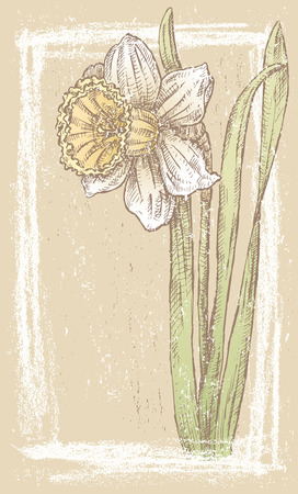 jonquil: The vector card of a decorative flower. Illustration
