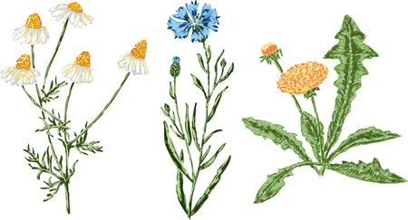 Vector drawings of the various field flowers.