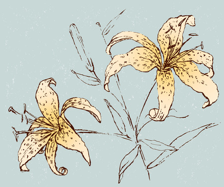 Vector image of the garden lilies. Illustration